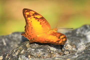 Beautiful Butterfly on stone