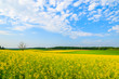 Yellow rapeseed flower field and blue sky, Burgenland, Austria
