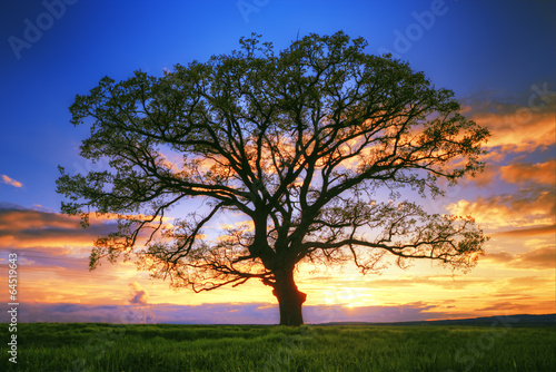 Big tree silhouette, sunset - 64519643