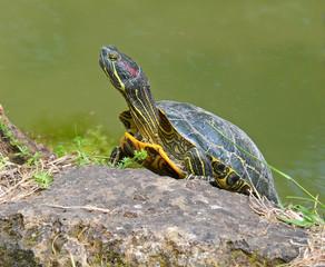 tartaruga acquatica sotto il sole