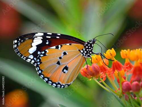 Butterfly on orange flower - 64523082