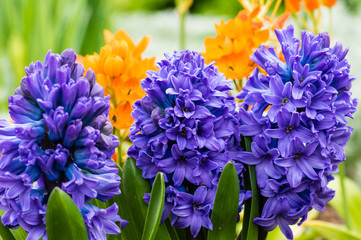 Purple or blue Hyacinth flowers in bloom