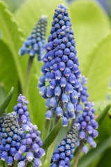 Grape hyacinth in flower with green background