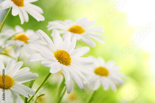 Papiers peints Marguerites Field of daisy flowers