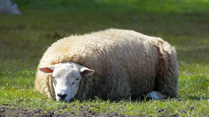 Sheep farming eco firendly agriculture