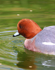 Eurasian Wigeon Male Duck swimming Ducks