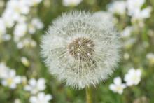 Close-up d'une fleur de pissenlit