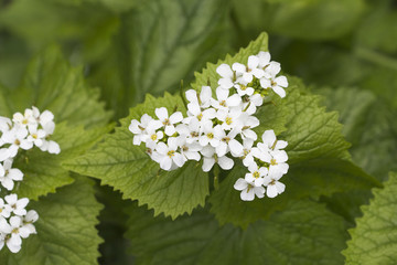 Flowers of Lamium album, commonly called white nettle or white d