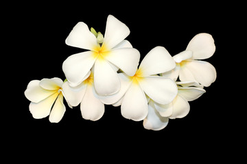 Frangipani isolated on black background