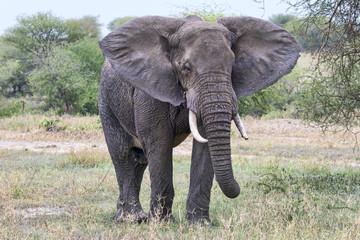 Tansania-Elefant-11643