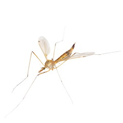 daddy long legs, mosquito nephrotoma scalaris isolated on white