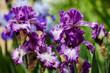 Iris in the field