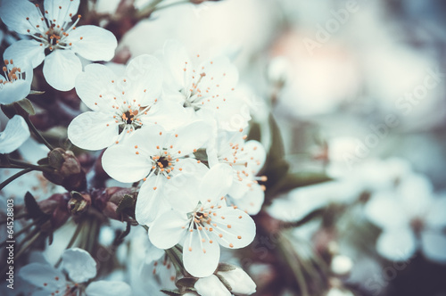 Cherry flowers on the branch - 64528803