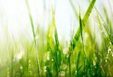 Fresh green grass with dew drops closeup. Soft Focus