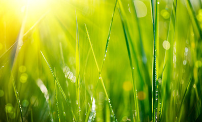Fresh green grass with dew drops closeup. Soft Focus