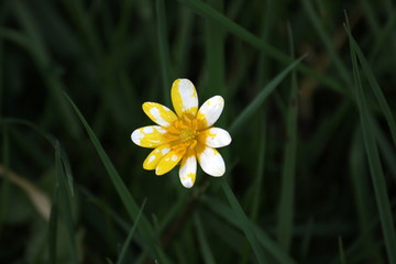 Lesser celandine with unusual white and yellow bloom