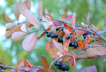 Autumn sketches. Branch black chokeberry