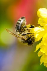 Biene an Blüte (mit Pollen)