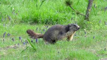 Running groundhog slow motion. Alpine marmot.