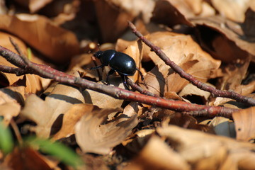Dung beetle on brown leaves