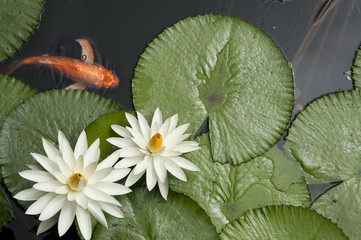 Goldfish in Lotus pond