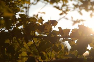 Pappelblätter im Sonnenlicht