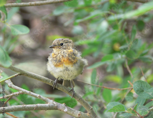 canvas print picture Erithacus rubecula