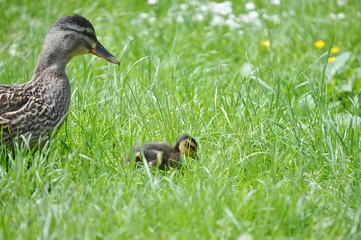 Entenmutter