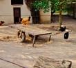 Hühner auf dem Hof