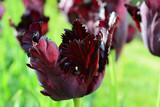 Black parrot tulip closeup - 64538432