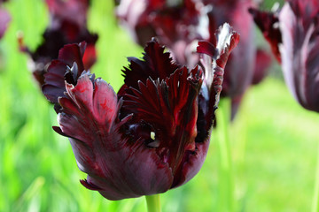 Black parrot tulip closeup