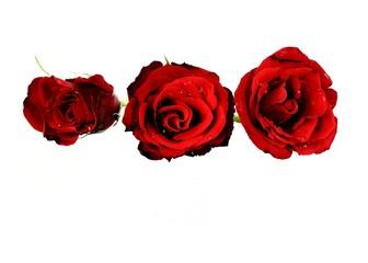 Rote Rosenblüten mit Wassertropfen