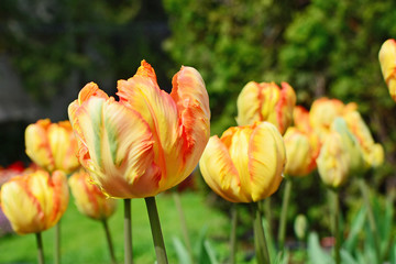 Yellow parrot tulip closeup