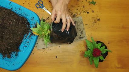 Female Gardener Planting Overhead Green Thumbs Up