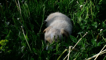 beige puppy sniffing green grass