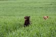 canvas print picture - zwei Labrador Retriever laufen durch das Gras