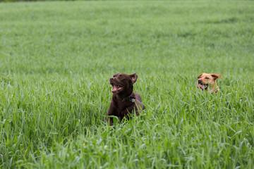zwei Labrador Retriever laufen durch das Gras