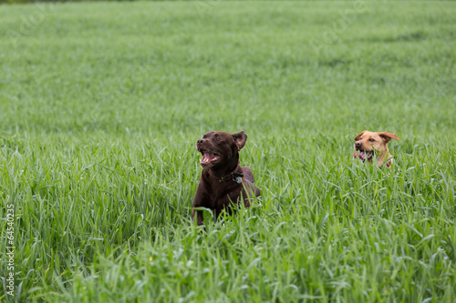 canvas print picture zwei Labrador Retriever laufen durch das Gras