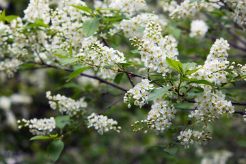 Bird cherry tree