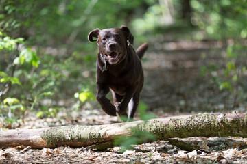 Labrador Retriever springt über einen Baumstamm