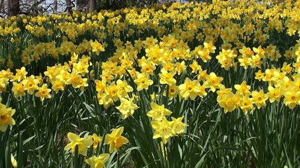 Yellow meadow with blooming Narcissuses in the Brooklyn BG
