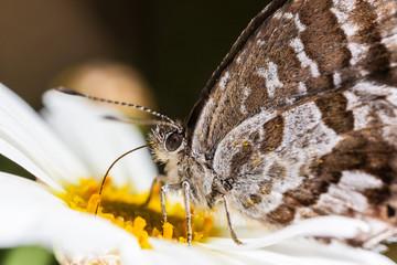 Cacyreus marshalli macro