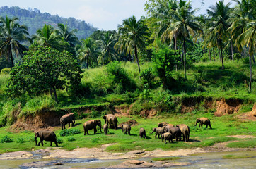 Elephants bathing in the river Ma Oya in Sri Lanka Pinnawala