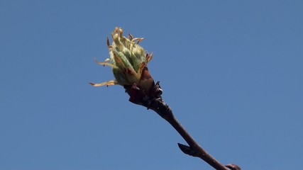Fresh young tree buds in spring.