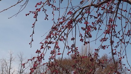 Spring flower buds of a prunus subhirtella in the Brooklyn BG