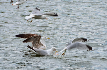gull quarrel (bait)