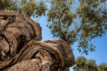 Twisted olive tree