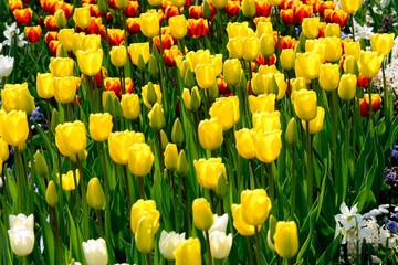 gelbe Tulpen - Tulpenfeld