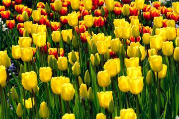 Tulpen - Frühlingsgefühle