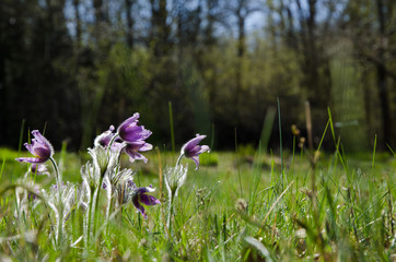 Shiny Pasque Flowers
